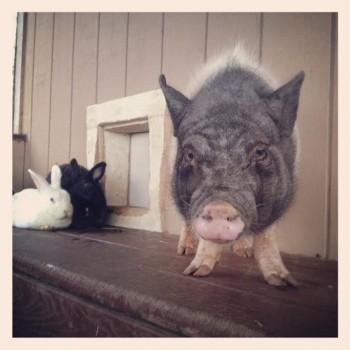 Pig, Harvest Home Animal Sanctuary