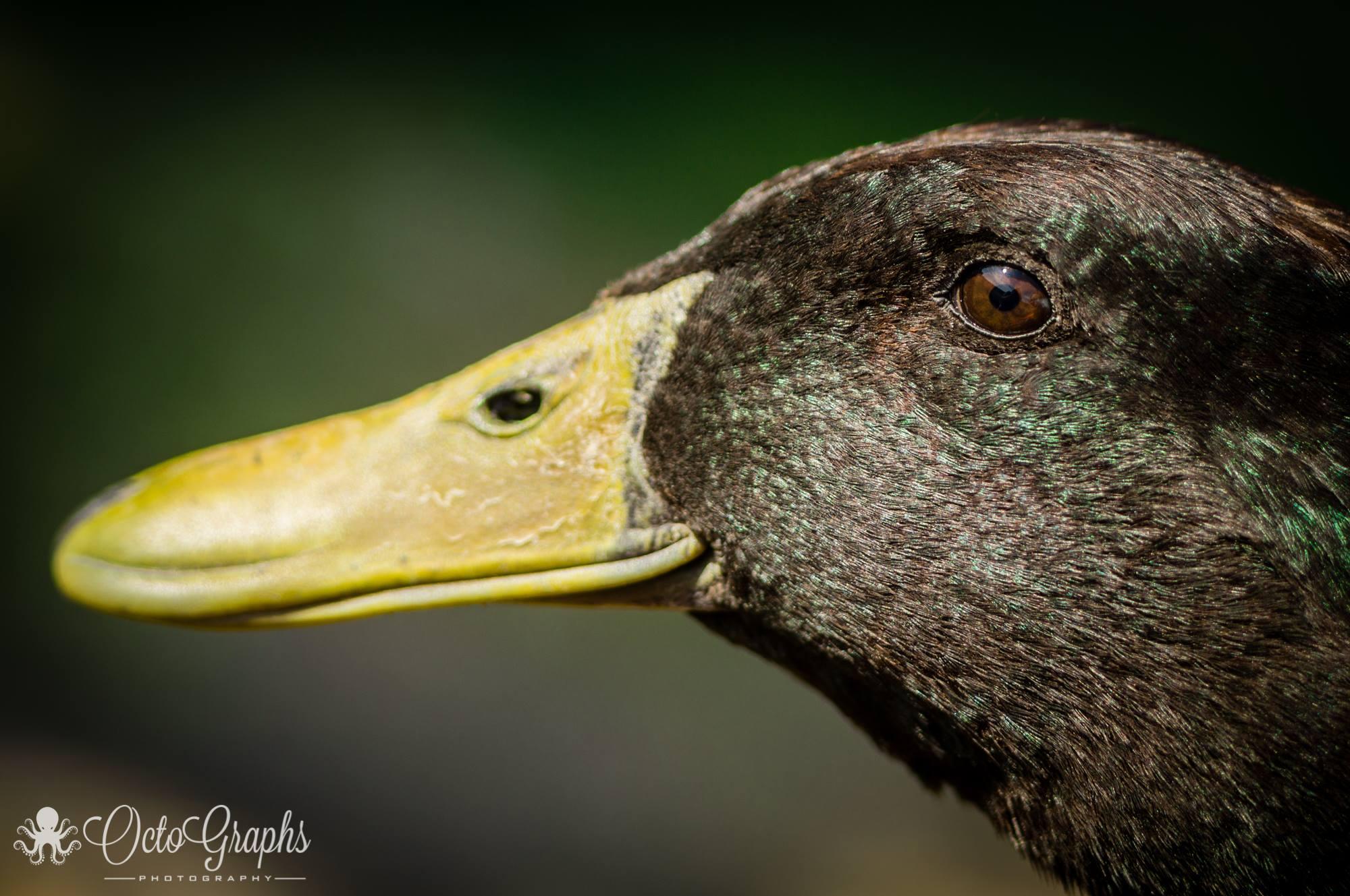 spencer-duckie